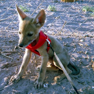 Help get this baby Coyote get to a rehab