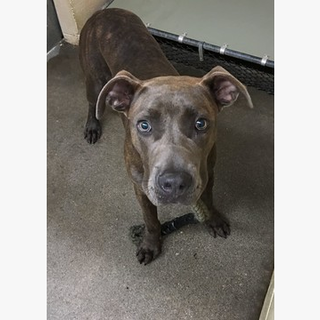 162593 BRADY- pit mix Clayton County AC