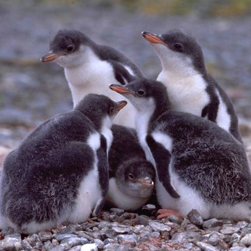 Help Save Antarctic Penguins! Support Oceanites!