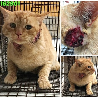 BUBBA: Kitty with open wound on his face and FIV+