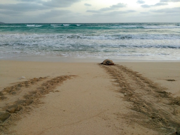 Turtle returning to sea after nesting