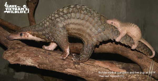 A mother pangolin surprisingly gave birth to her pup at SVW.